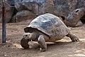 2018 Chelonoidis nigra. Loro parque. Tenerife-2.jpg