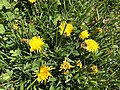 2019-04-20 12 15 22 Dandelion blooming in a lawn along Hidden Meadow Drive in the Franklin Farm section of Oak Hill, Fairfax County, Virginia.jpg