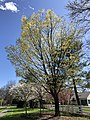2020-03-30 14 39 55 A Sugar Maple blooming along Franklin Farm Road in the Franklin Farm section of Oak Hill, Fairfax County, Virginia.jpg