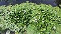 2020-06-19 — de waterlelies (2014) door herman de vries – monument voor Fechner, Diepenheim - 7.jpg