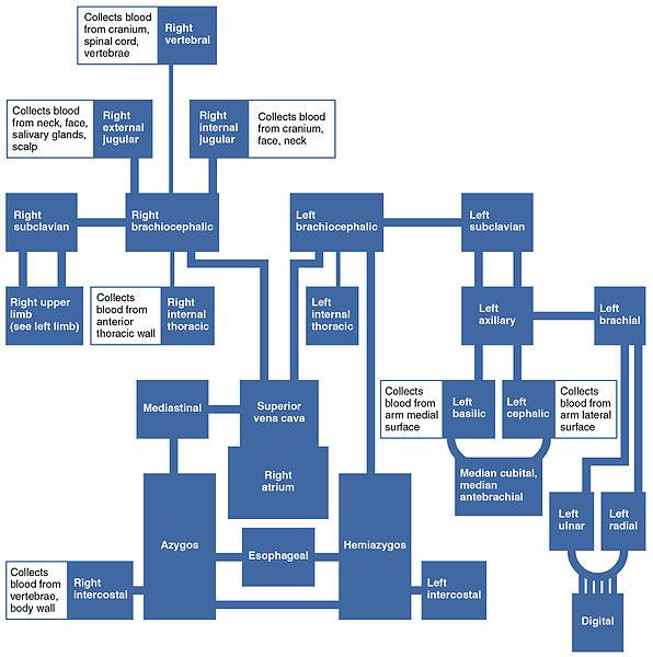 Blood Type Charts: 2135 Veins Draining into Superior Vena Cava Chart.jpg ,Chart