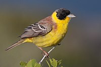 28-090504-black-headed-bunting-at-first-layby.jpg