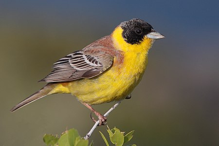 A black headed bunting