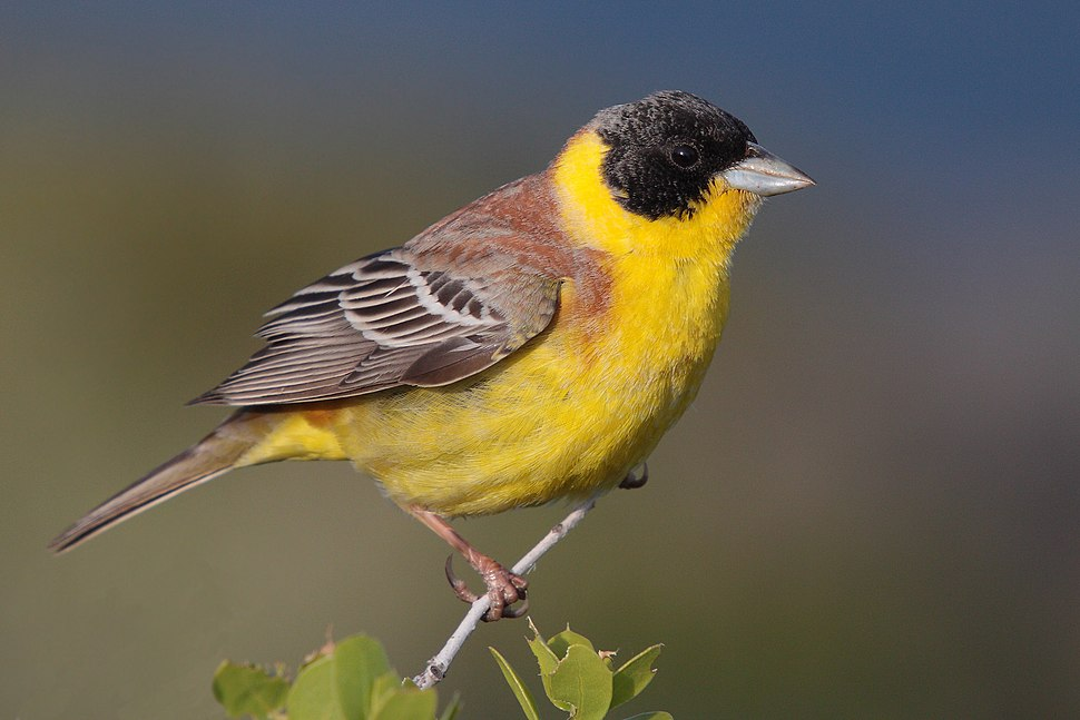 28-090504-black-headed-bunting-at-first-layby