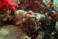 29-EastTimor-Dive2 K-41 28 (Scorpion-Fish)-APiazza.JPG