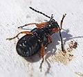 29 03 09 (190) Coleoptera Oulema melanopus (3396481788).jpg