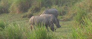 Three Indian Rhinoceroses (Rhinoceros unicorni...
