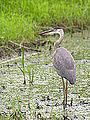 3ft tall Juvenile Great Blue Heron (7673772878).jpg