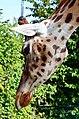 50 Jahre Knie's Kinderzoo Rapperswil - Giraffa camelopardalis 2012-10-03 14-50-57.JPG