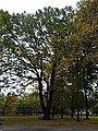 601 oak Hallera Gdańsk.jpg