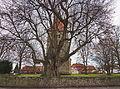800-jährige Linde vor der St.Blasiuskirche in Großgoltern (Barsinghausen) IMG 4470.jpg