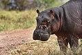 9335 Serengeti Hippo JF.jpg