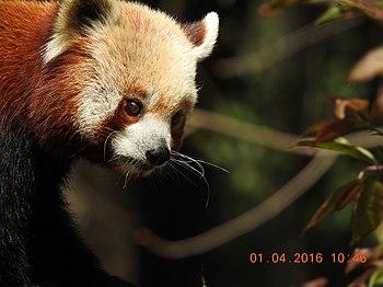 A Cute Red Panda.jpg