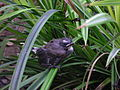 A Pied Fantail chick.JPG