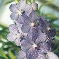 A and B Larsen orchids - Ascocenda Royal Sapphire x V coerulea 822-15x.jpg