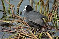 A coot on Newent Lake - geograph.org.uk - 1275156.jpg