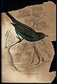 A crimson eared bengaly (bird) sitting on a branch of a tree Wellcome V0020777.jpg