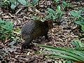A cutia ou cotia (Dasyprocta aguti). O roedor tem a seguinte estratégia alimentar, enterra o alimento nos períodos de fartura e só o desenterra na época de escassez, assim acaba por esquecer parte del - panoramio.jpg