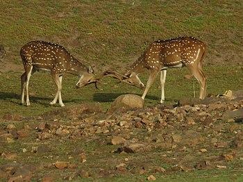 A deer Fight.jpg