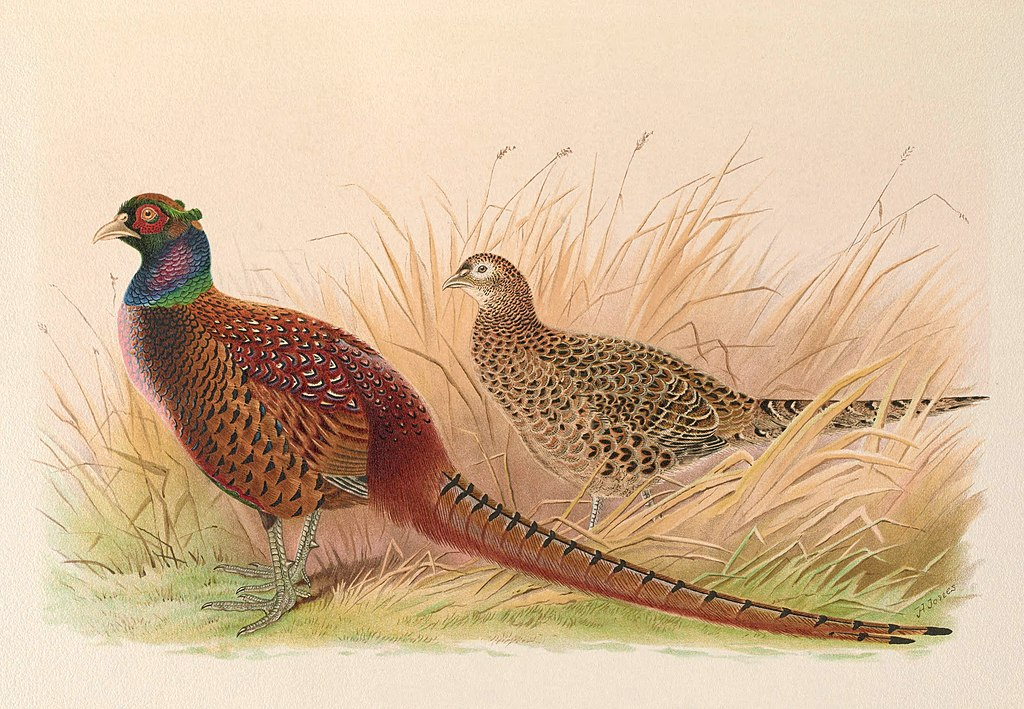 A monograph of the pheasants (10052517376)