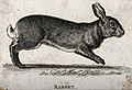 A rabbit. Etching. Wellcome V0021260.jpg