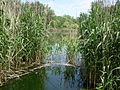 A reed bed.jpg