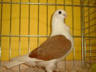 Aachen Lacquer Shield Owl pigeon - Image: Aachener Lackschildmövchen