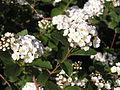 Ab plant 1784.jpg