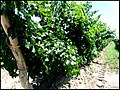 Abundant leaf shading in Argentine vineyard.jpg