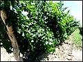 Abundant leaf shading in Argentine vineyard.jpg