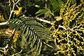 Acacia dealbata Massif de l'Estérel 1.jpg