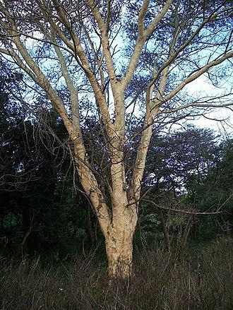 Vachellia xanthophloea - Image: Acacia xanthophloea Ilanda