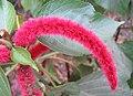 Acalypha hispida(2).jpg