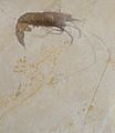 Acanthochirus cordata 01.jpg
