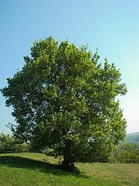 A Field Maple in Germany