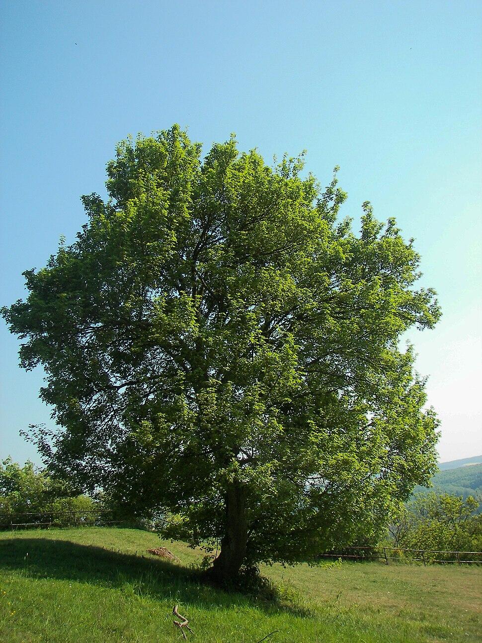 Acer campestre 006