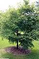 Acer palmatum Fluctuans Variegata 2zz.jpg