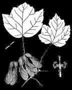 Acer rubrum trilobum drawing.png