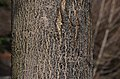 Acer saccharum 'Green Mountain' Trunk Bark.JPG