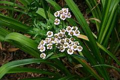 Achillea sibirica flowers 001.jpg