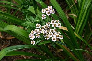 Achillea alpina - Image: Achillea sibirica flowers 001