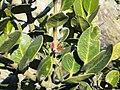 Acokanthera rotundata, blomme, Louwsburg.jpg