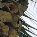 Acorn Woodpecker (5317743540).jpg