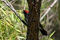 Acorn Woodpecker Huachuca Canyon Sierra Vista AZ 2019-07-27 09-28-27 (48413238681).jpg