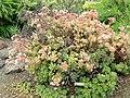 Aeonium castello-paivae - University of California Botanical Garden - DSC08924.JPG
