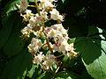 Aesculus hyppocastanum 3.jpg