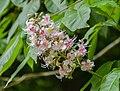 Aesculus indica in Hackfalls Arboretum (2).jpg