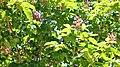 Aesculus x carnea Red Horse Chestnut წითელი ცხენისწაბლა (2).JPG