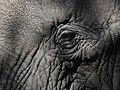African Elephant (3075418457).jpg