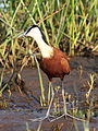 African Jacana, Actophilornis africanus - sunrise in the reeds, Kruger Park (13650622963).jpg